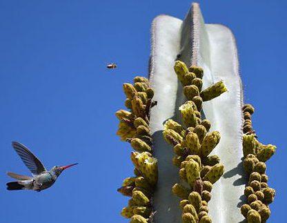 Pachycereus marginatus seeds samen