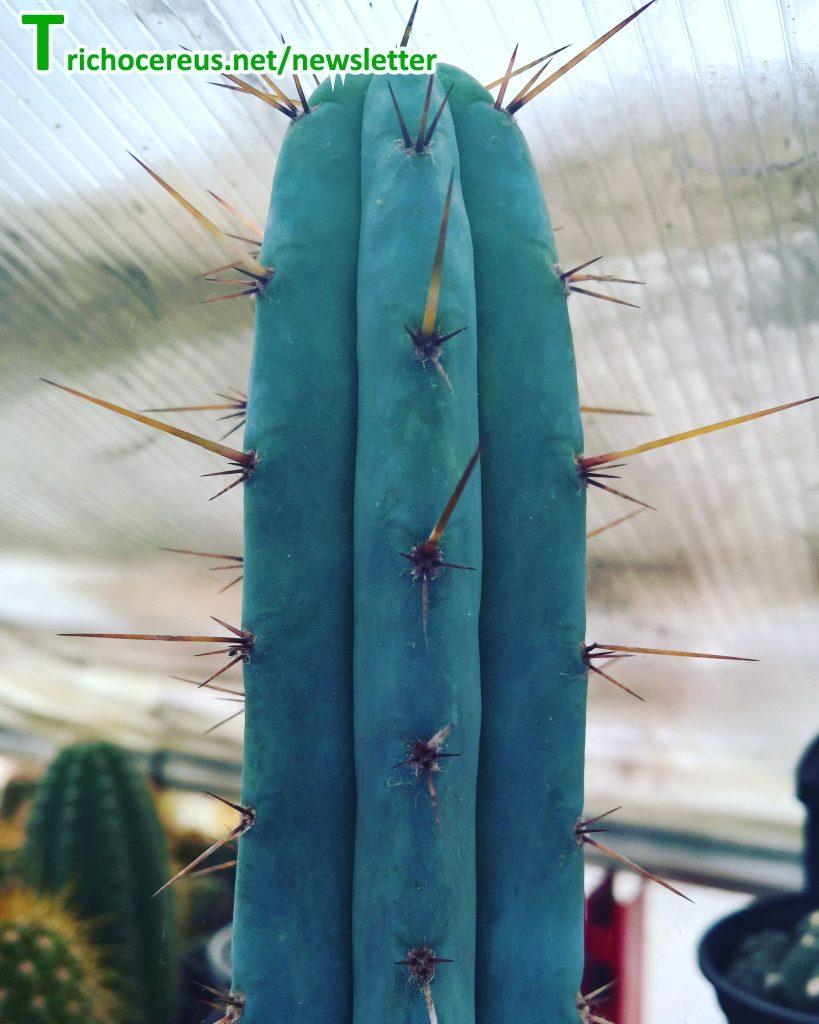 Photo Trichocereus macrogonus European Macrogonus clone 4