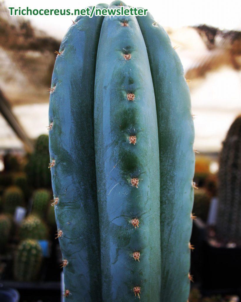 Echinopsis pachanoi Trichocereus pachanoi photo 3