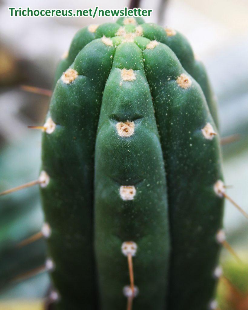 Photo Trichocereus pachanoi Ecuador Echinopsis pachanoi cactus 4