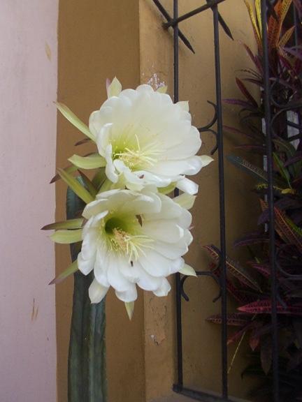 Flower of Trichocereus pachanoi Echinopsis pachanoi