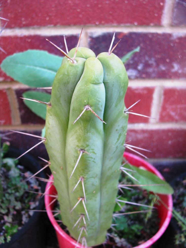 Echinopsis lageniformis Bruce Trichocereus bridgesii 4