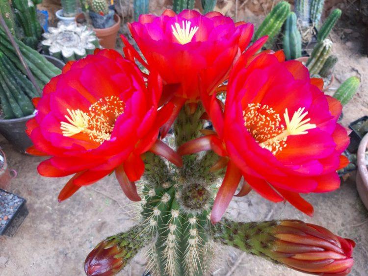 Trichocereus BS 2007.1558.1 Flower cactus cacti gardening