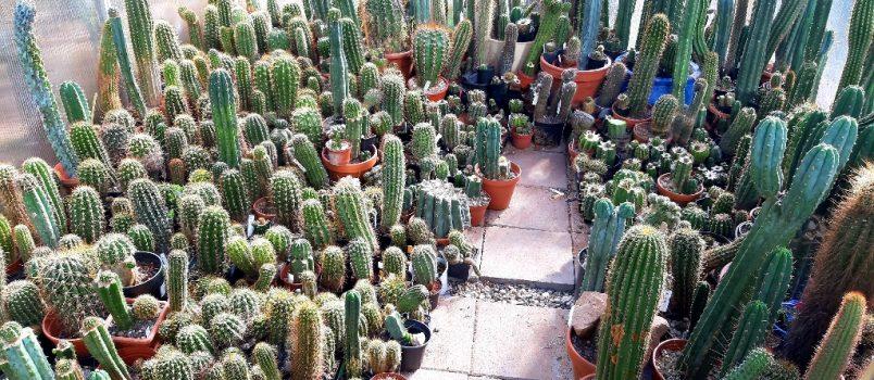 Cactus Fertilization Sunday Fertilizer