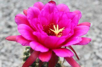 Cactus Seeds KA.2013.200.02 Wörlitz Cantora