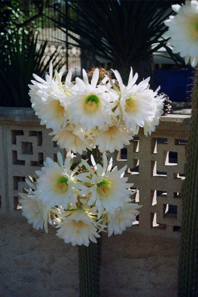 Cactus_en_flor