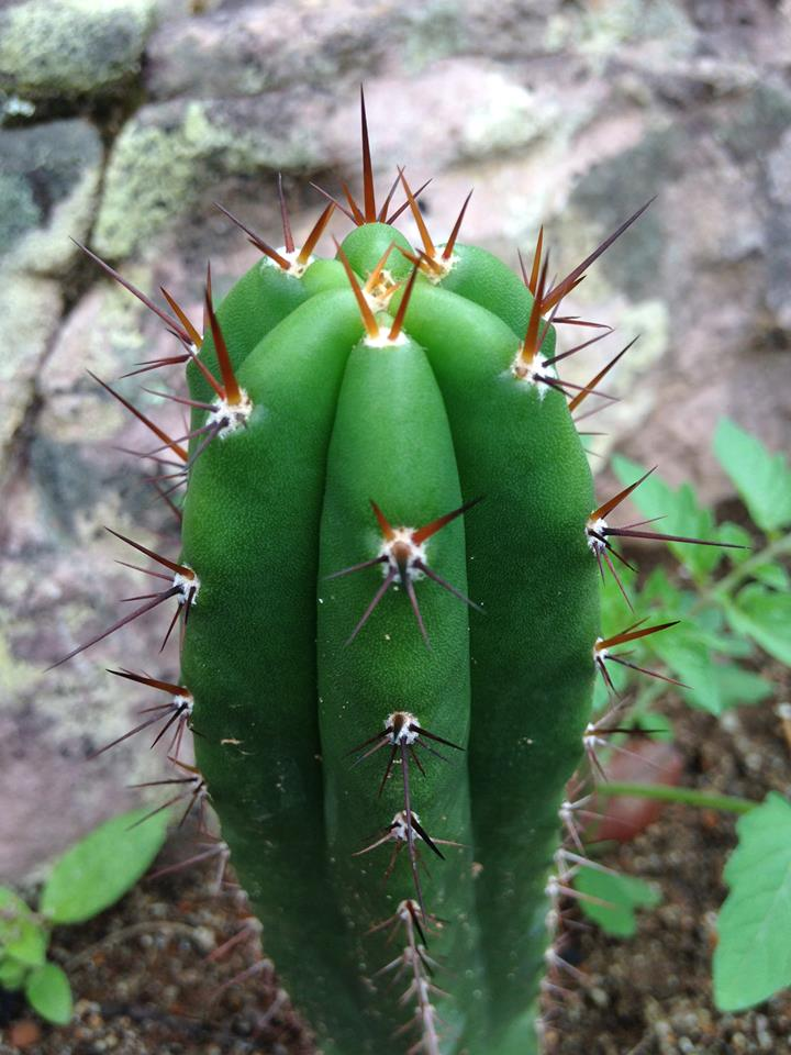 Trichocereus Chavin Seedling cactus Trichocereus santaensis