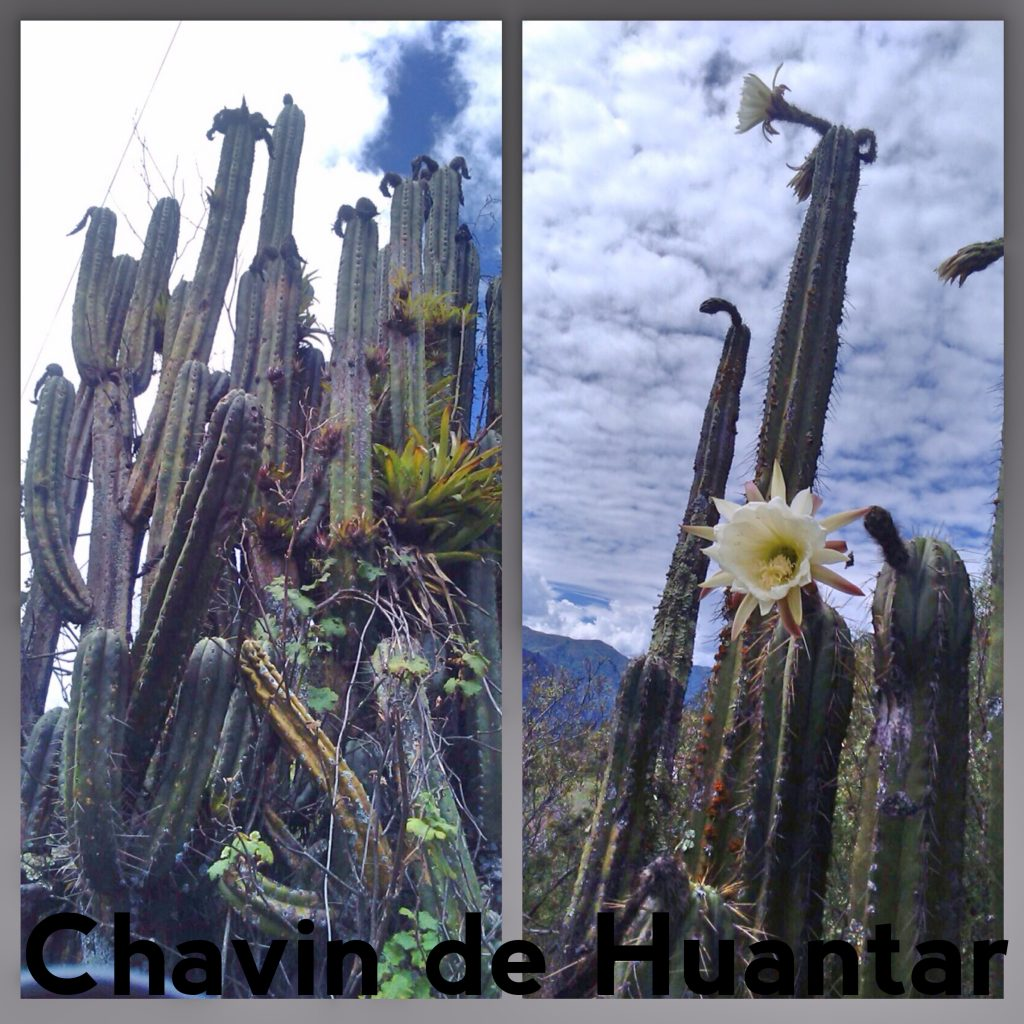 Trichocereus santaensis Chavin de Huantar Echinopsis Chavin Herbalists