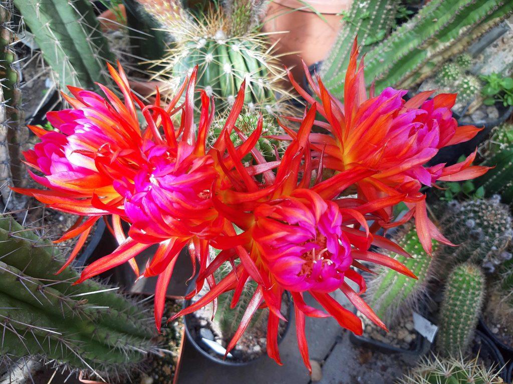 Trichocereus Claw Cactus Seeds Wörlitz Trichocereus candicans Buena Vista