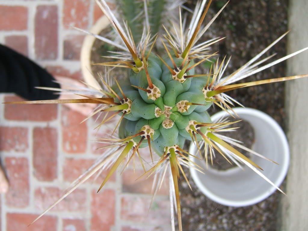 Trichocereus cuzcoensis - Echinopsis cuzcoensis Nitrogen
