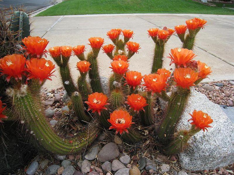 Trichocereus huascha Orange Flower Echinopsis huascha Soehrensia Helianthocereus Dru Bloomfield   2