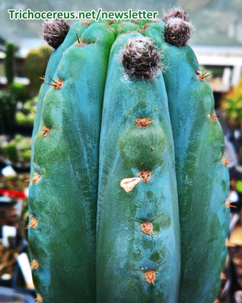 Photo Trichocereus pachanoi Echinopsis pachanoi flower buds flowers flowering cactus