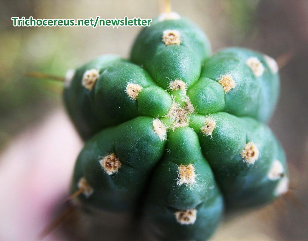 Photo Trichocereus pachanoi Ecuador Echinopsis pachanoi cactus 6