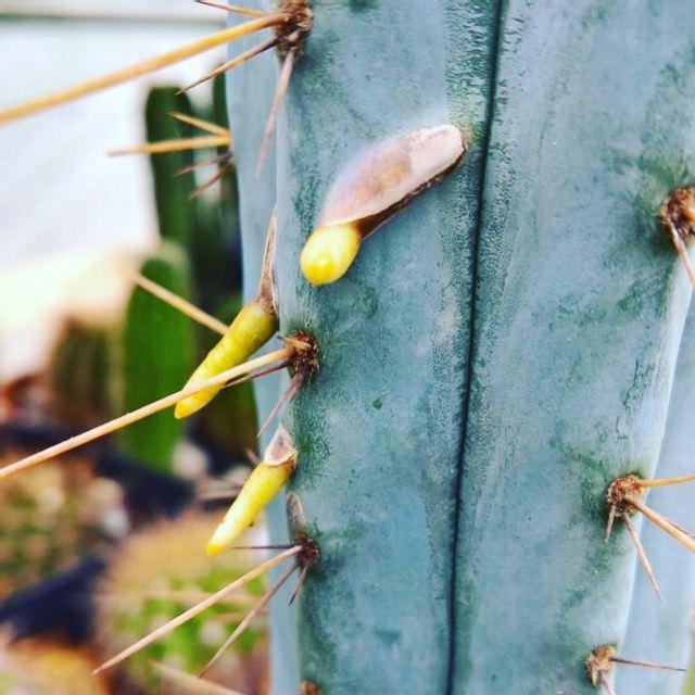 Aerial roots of Trichocereus macrogonus Echinopsis macrogona