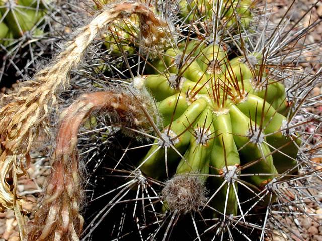 Echinopsis bridgesii K. Trout