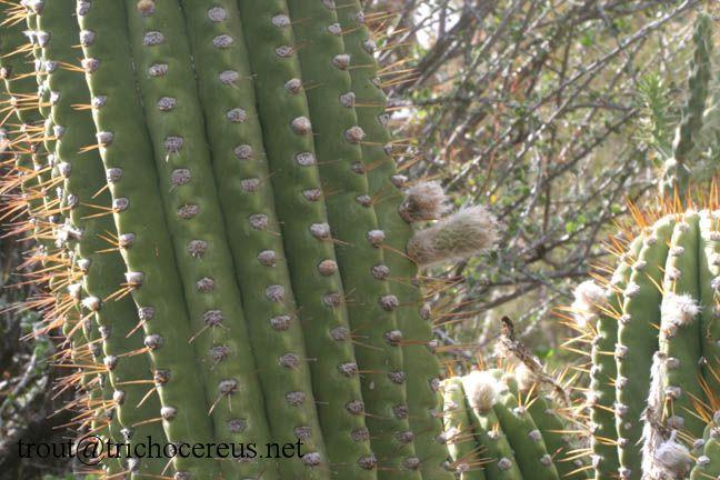 Echinopsis Robinsoniana Trichocereus validus Echinopsis valida c