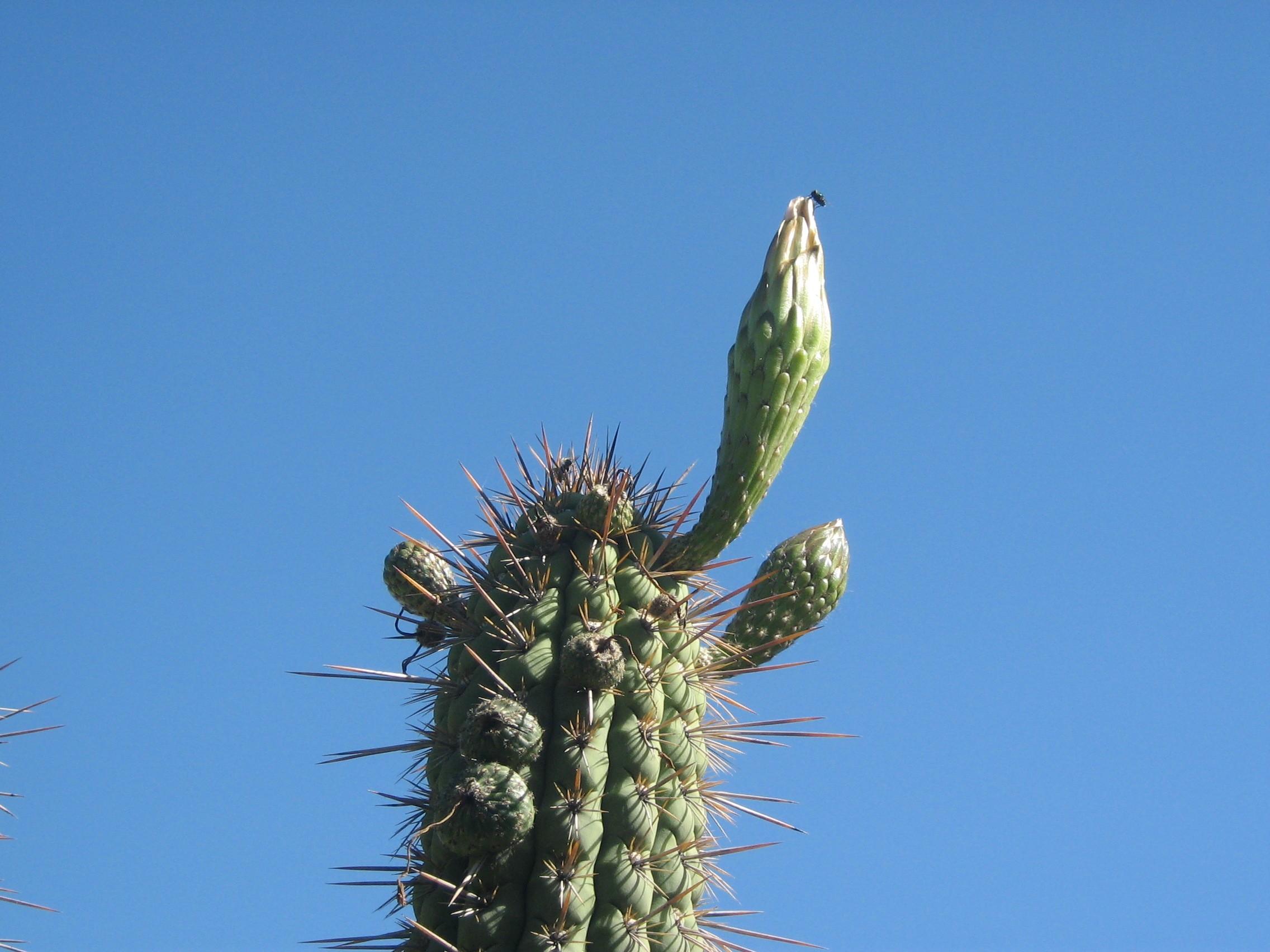 Echinopsis chiloensis by penarc_8 Trichocereus chiloensis chilensis