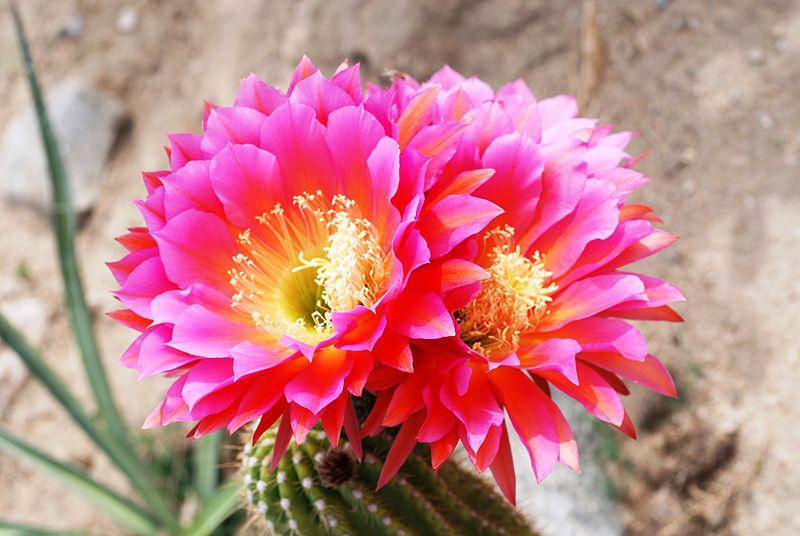 echinopsis_rowleyi_hybrid_-_joshua_tree_california_-_1