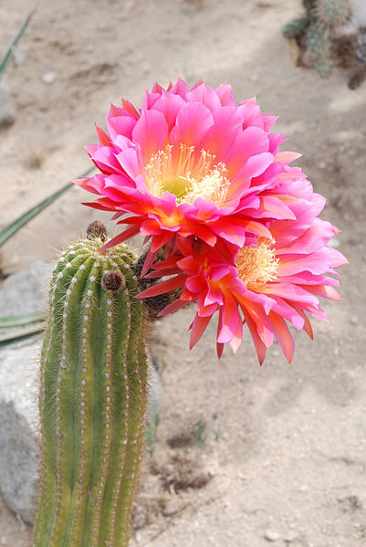 echinopsis_rowleyi_hybrid_-_joshua_tree_california_-_6