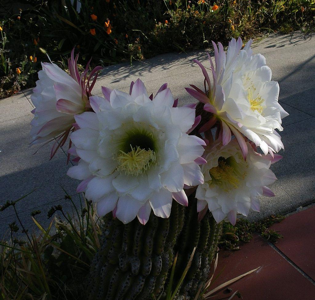 Echinopsis_schickendantzii_(3)
