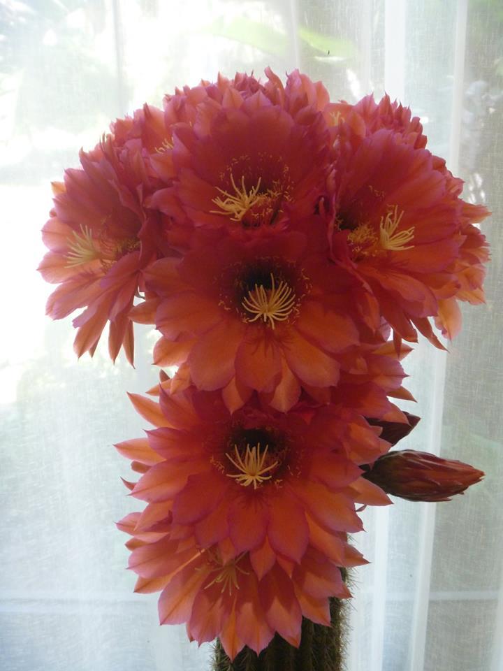 Trichocereus sp. Flame Seeds Hybrid Samen