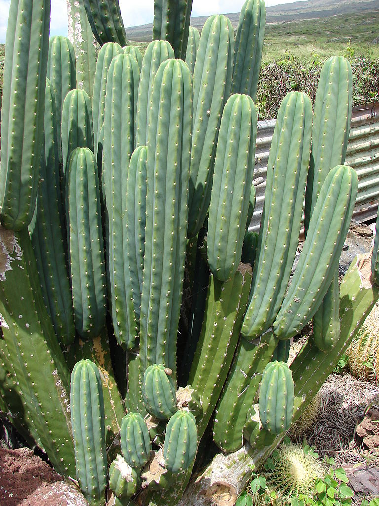 Trichocereus pachanoi PC Echinopsis Predominant Cultivar Predominate 2