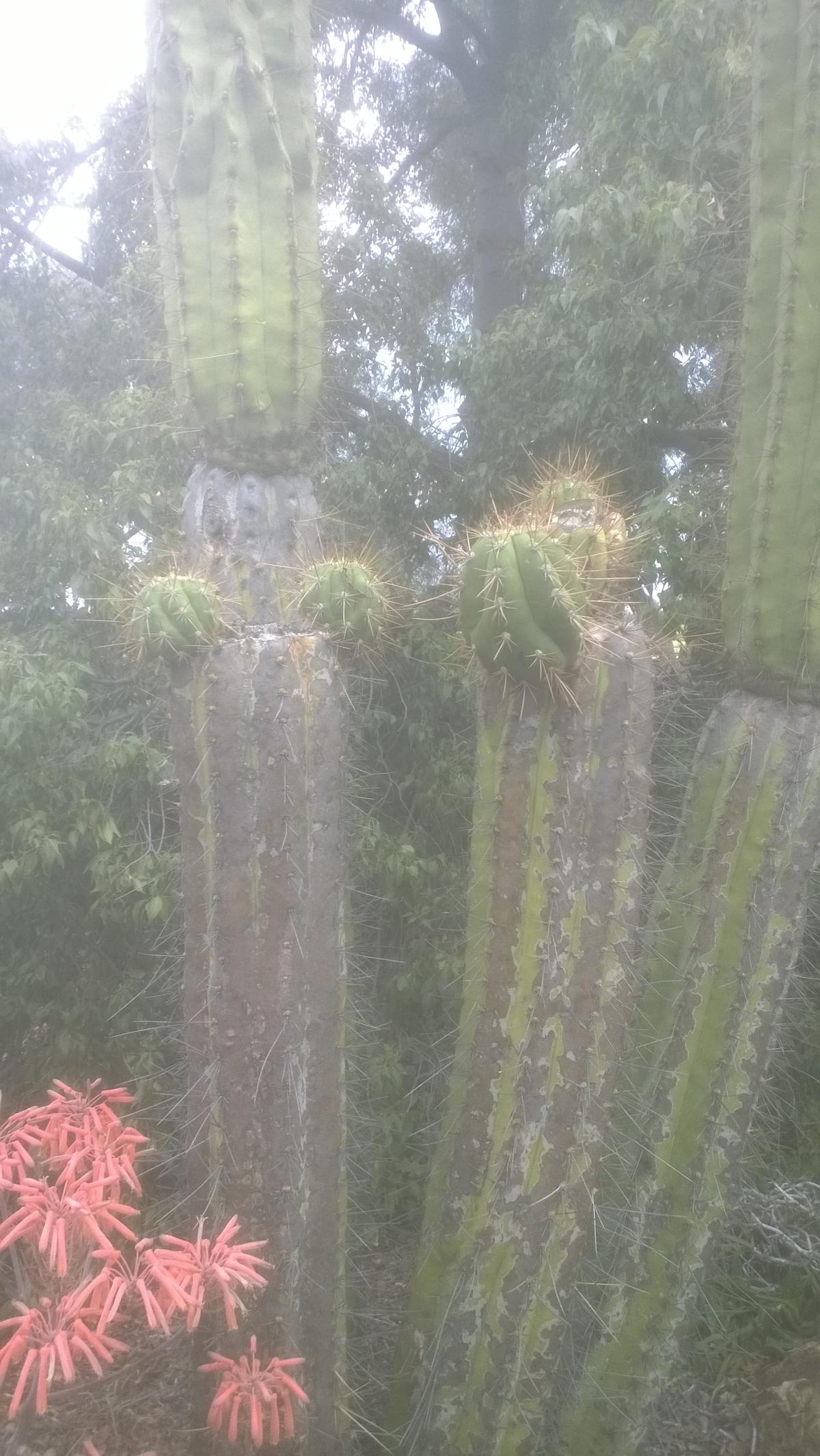 garden-trichocereus-validus-fields-2