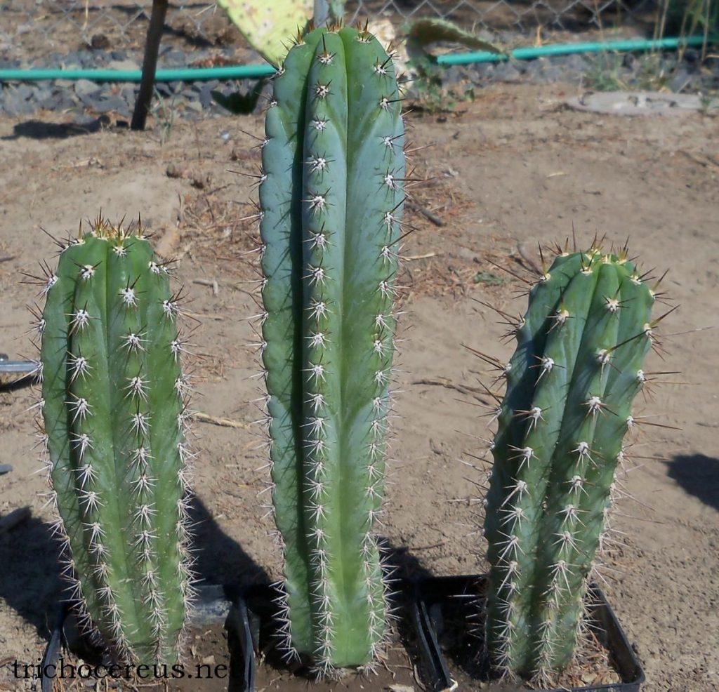 Trichocereus glaucus Echinopsis glauca Auxin photo 2