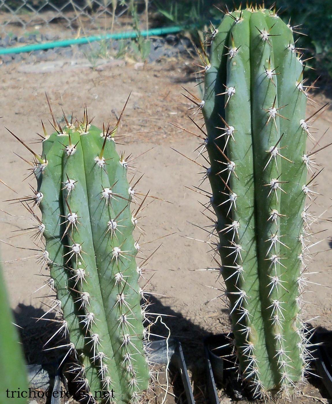 Trichocereus glaucus Echinopsis glauca Auxin photo EG2