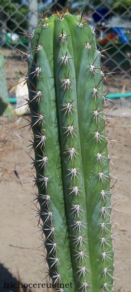 Trichocereus glaucus Echinopsis glauca Auxin photo EG3