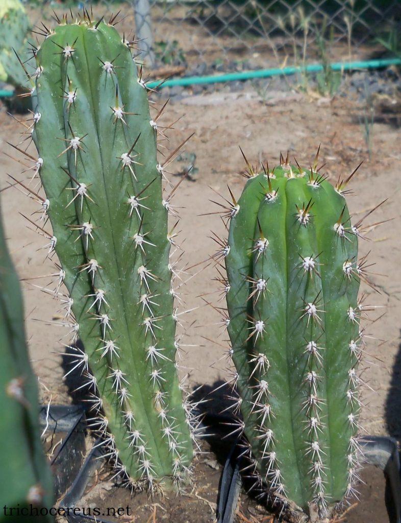 Trichocereus glaucus Echinopsis glauca Auxin photo EG4