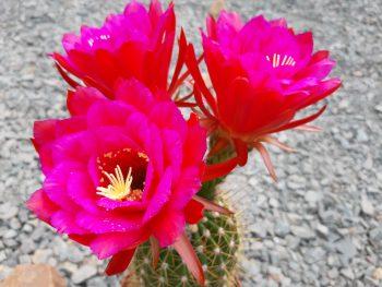 Gräsers Schönste Erfolg Trichocereus Flower