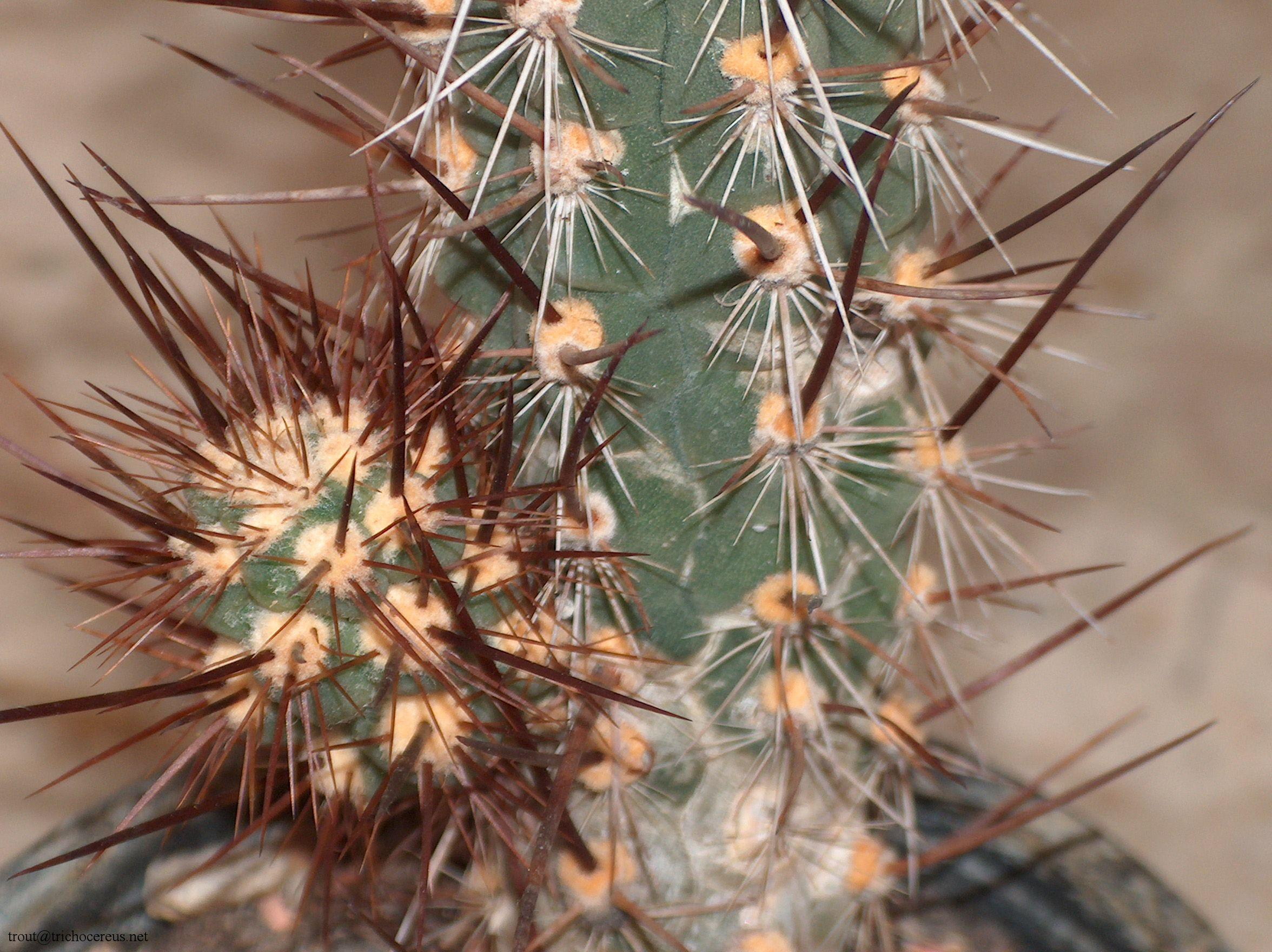 Trichocereus deserticolus / Echinopsis deserticola Patrick Noll 5