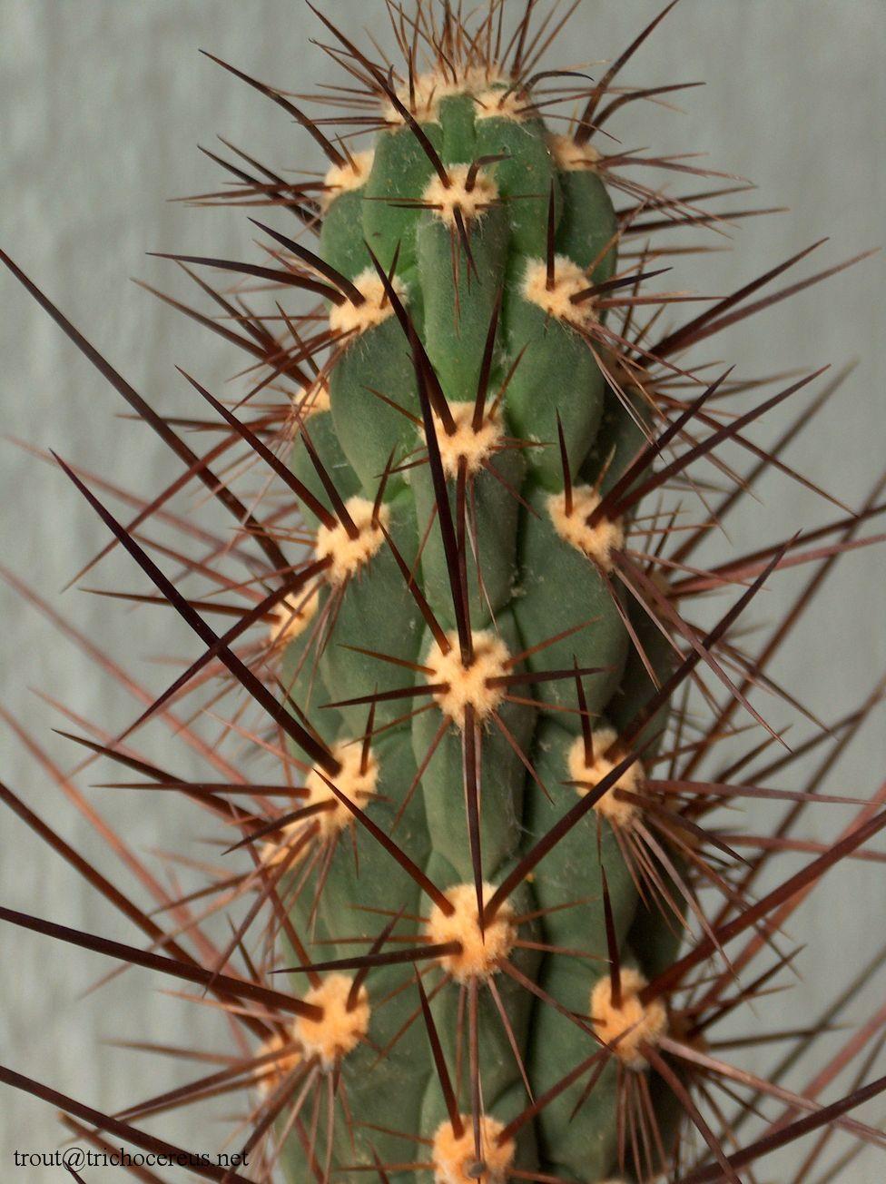 Trichocereus deserticola