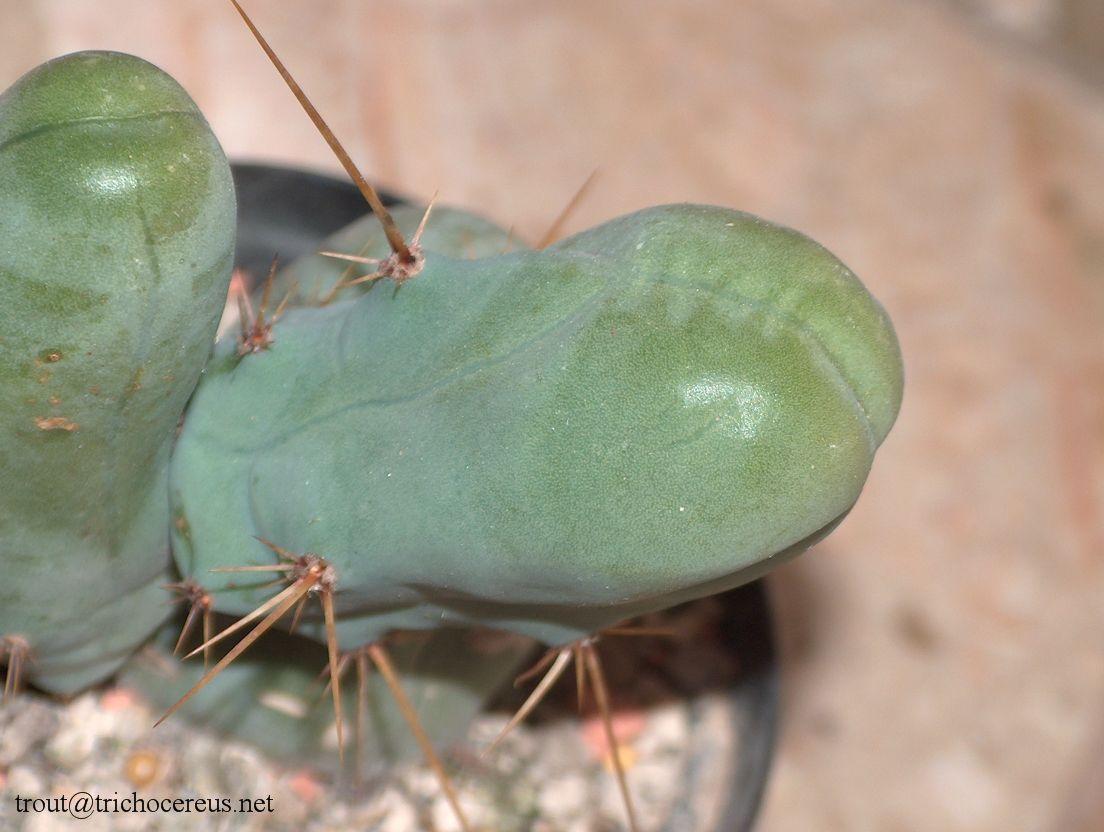 TBM Trichocereus Brigesii Penis Plant Echinopsis lageniformis 8