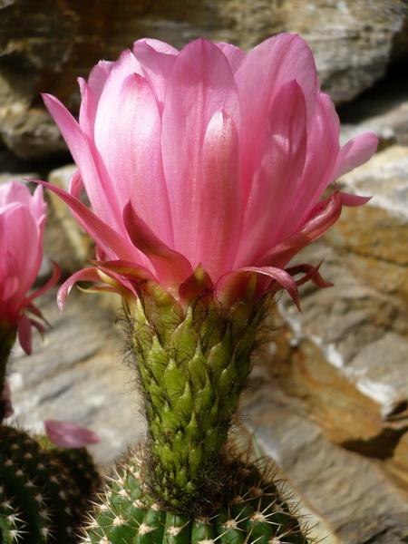 Trichocereus purpureominata Seeds Samen T. huascha Usien