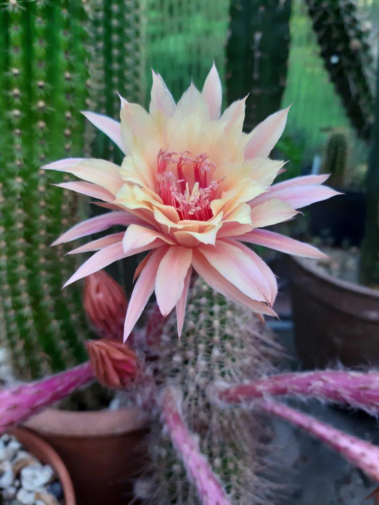 Hildewintera Eos Aurora Cactus Seeds flower 2