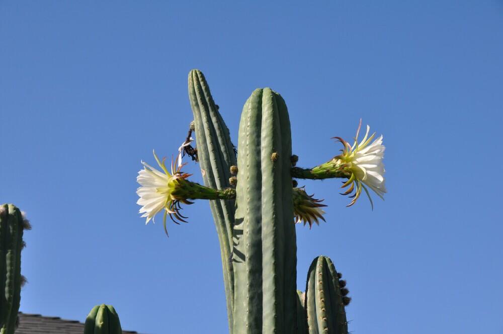 Huarazensis-4 misplant