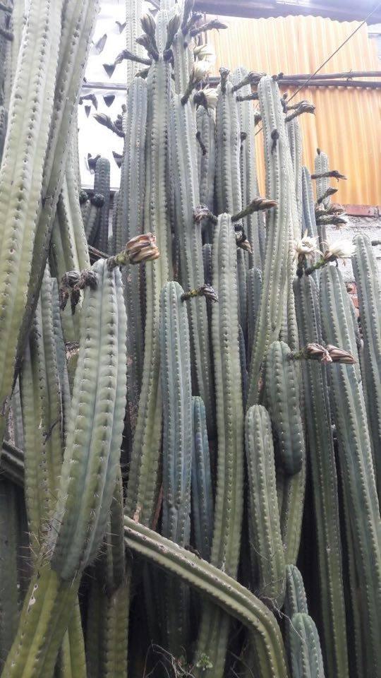 Huarazensis 9 a Echinopsis huarazensis