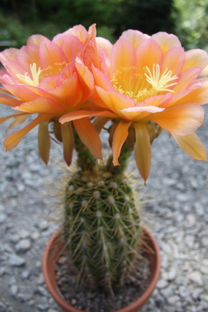 Trichocereus Andenken an Dr. Stauch Cantora Flower cactus cacti seeds 2