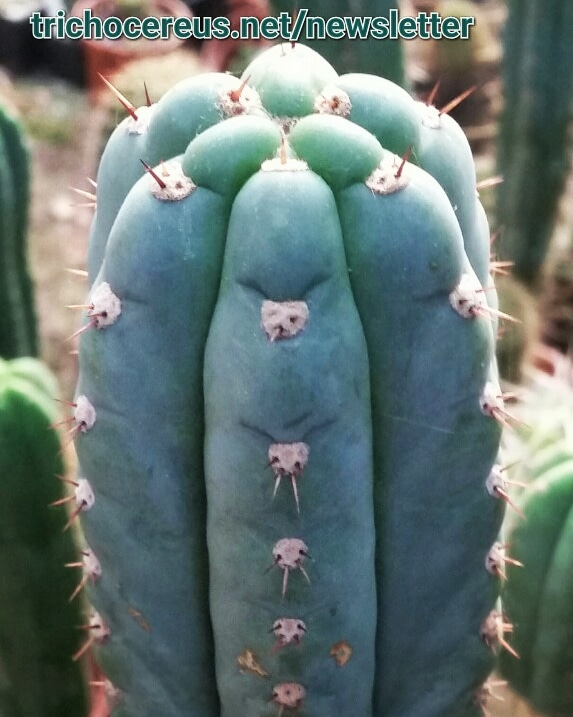 Short Spine Trichocereus macrogonus Echinopsis Photo