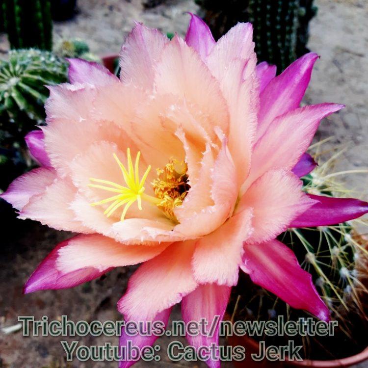 Paul Ehrlich Gräser Hybrid Cactus seeds