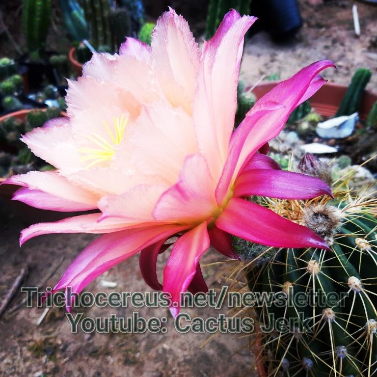 Trichocereus Gräser Hybrid Paul Ehrlich Schönste Echinopsis seed seeds cactus cacti