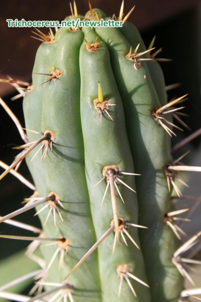 Trichocereus cuzcoensis Echinopsis cuzcoensis