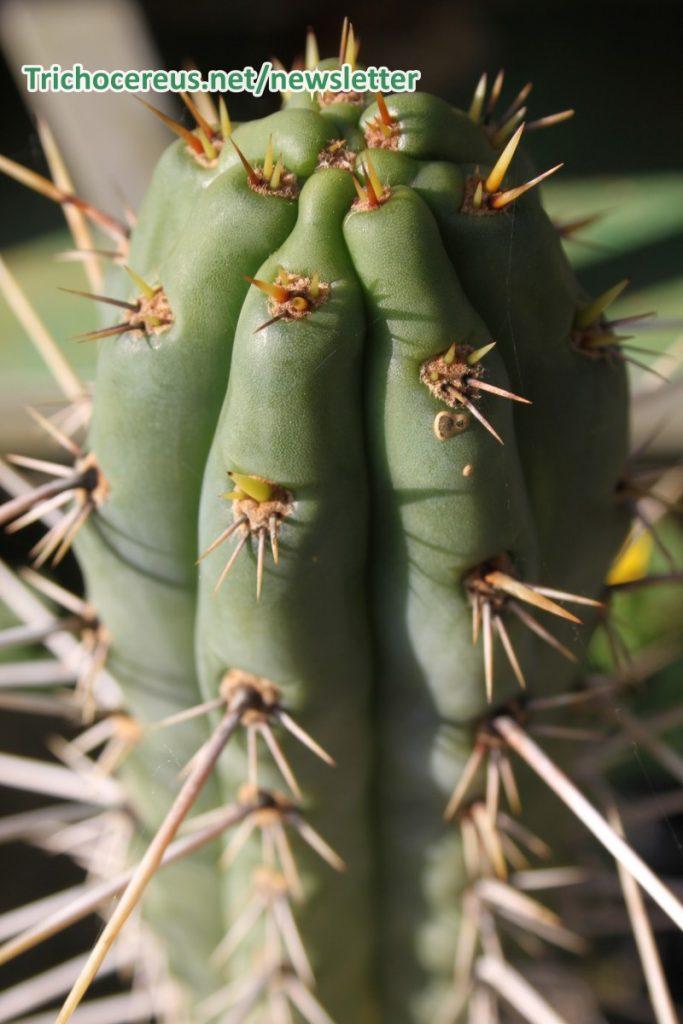 Trichocereus cuzcoensis Echinopsis cuzcoensis 3