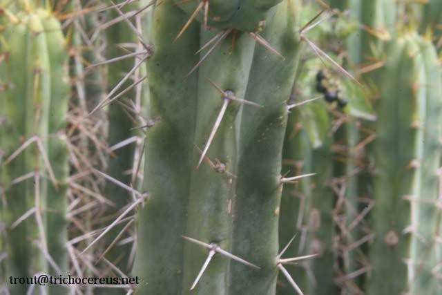 Trichocereus bridgesii Echinopsis lageniformis aaa