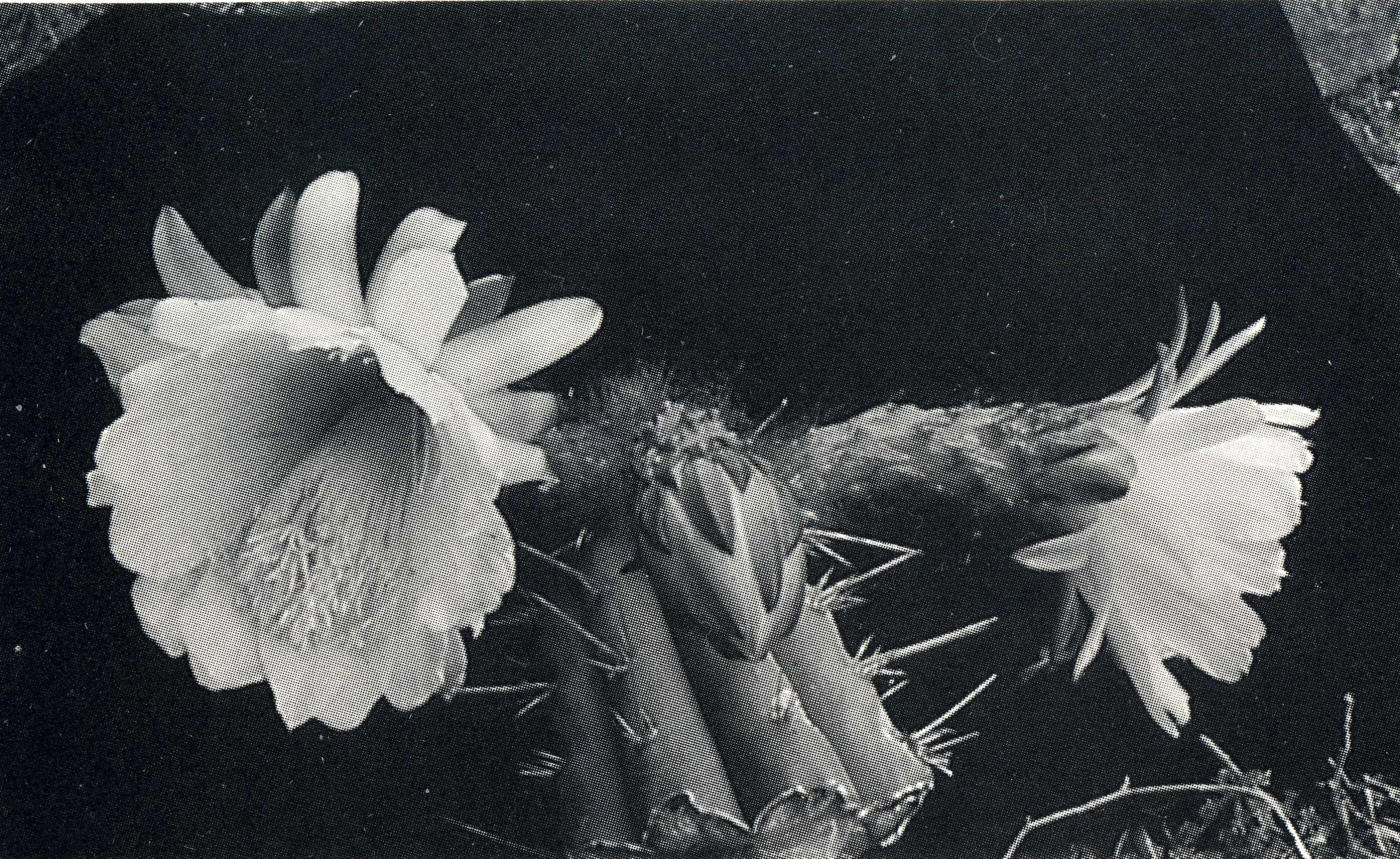 Trichocereus knuthianus Echinopsis knuthiana FR 677 Ritter