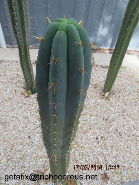 LC002 Trichocereus bridgesii (Echinopsis lageniformis)