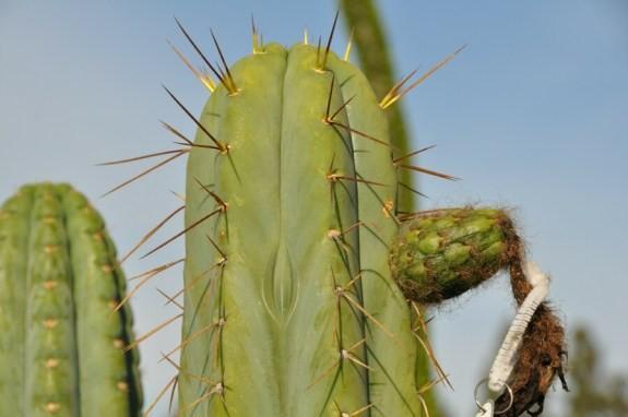 Trichocereus Lumberjack Echinopsis lageniformis bridgesii Misplant 7
