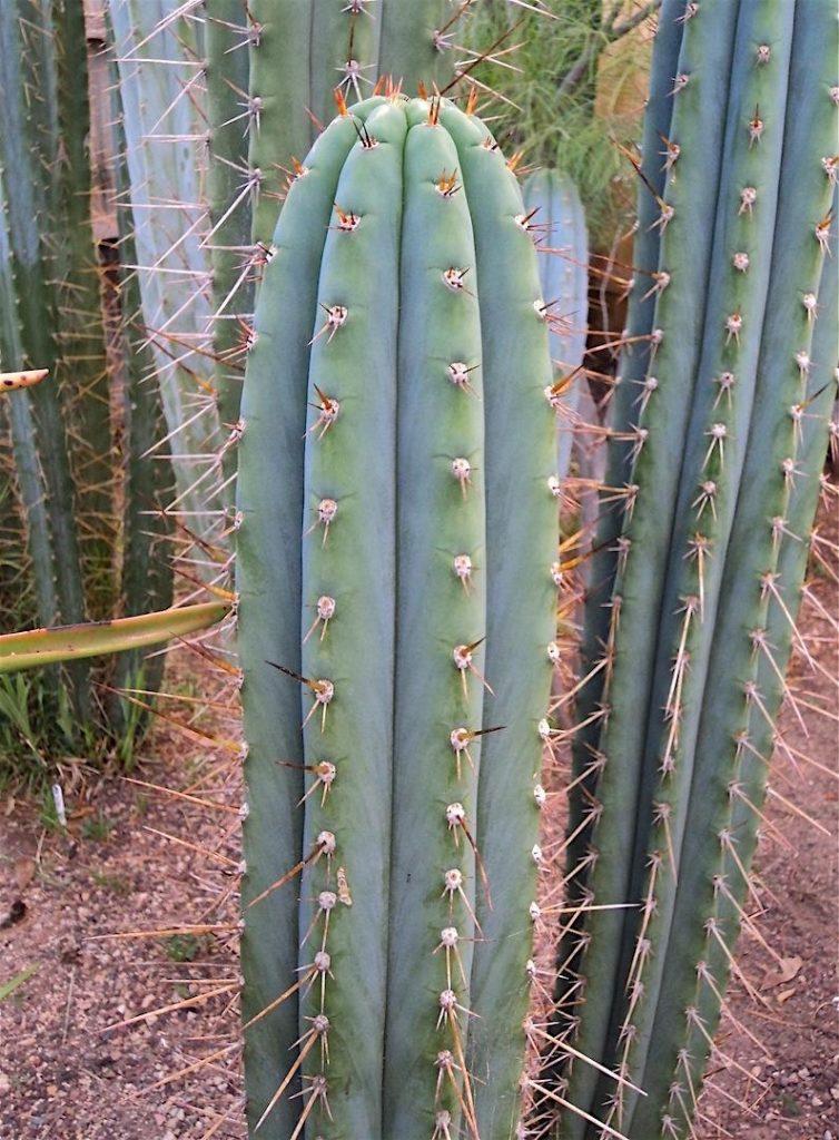 Trichocereus macrogonus Echinopsis macrogona MG Red Spine Peruvianus